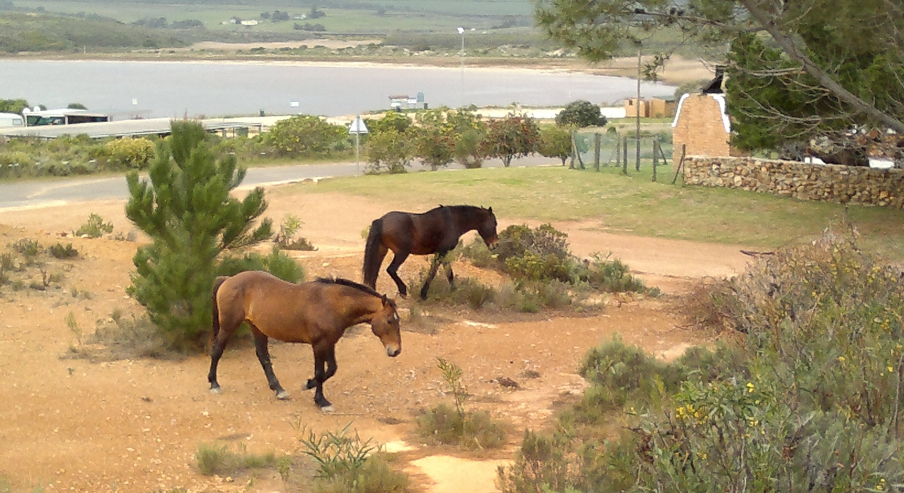 Wild horses roaming free